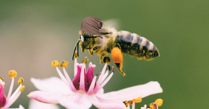 Hipster Bees Skipping Lilac Fest for Apple Blossom Fest