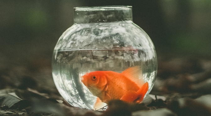 Goldfish Won at Firemen's Carnival Can't Decide If It Should Live for One-Day or 25 Years